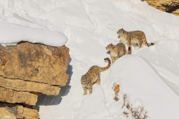 Saurab Desai  #PhotoClub  Snow Leopard mother and cubs  Spiti Valley, March
