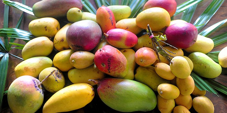 Here are some Popular variety of mangoes grows in different part of the world