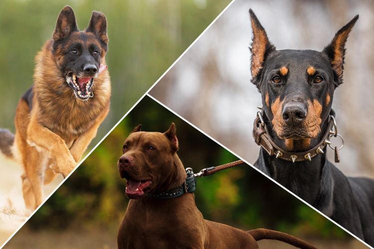 Best and the most courageous dog breeds to get for the security of your households